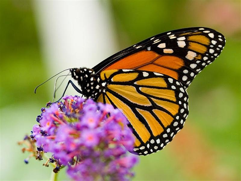 A lezione di natura colori e profumi di primavera in for Immagini farfalle per desktop