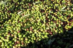 olive_10