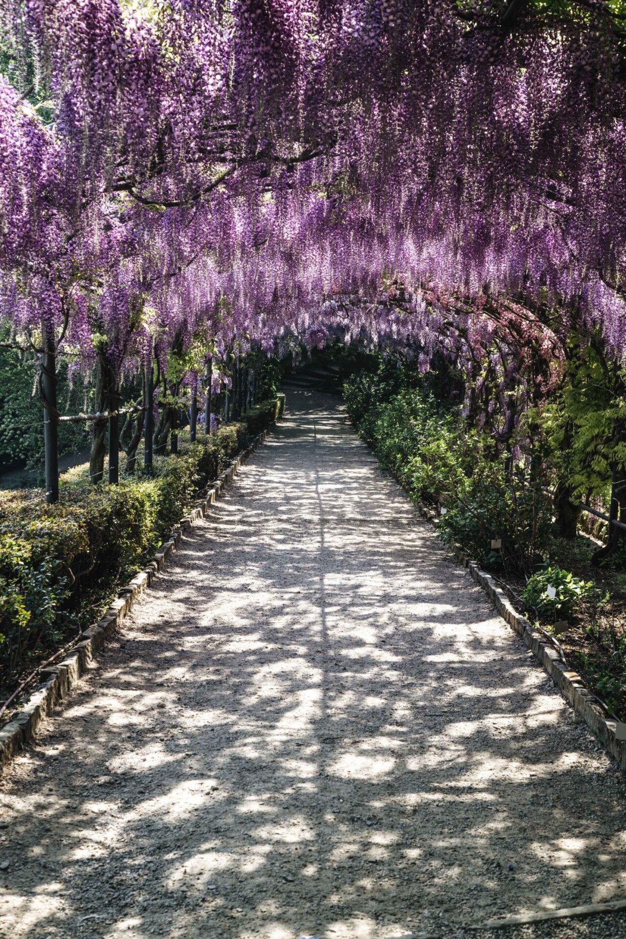 Spettacolo della natura, il glicine della pergola di Villa Bardini raggiunge la massima fioritura. Come vederla via webcam