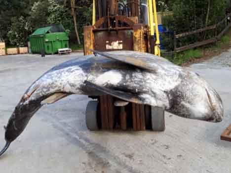 Raro esemplare di delfino spiaggiato in Maremma