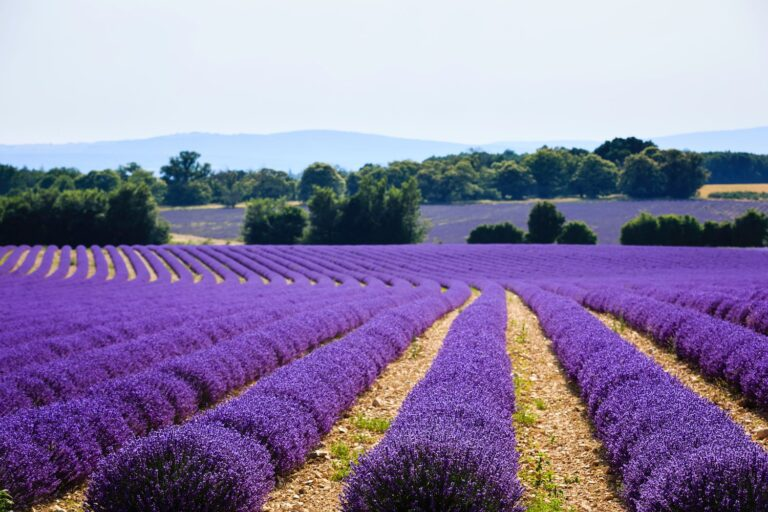 Santa Luce, la Provenza d'Italia. 100 aziende e 250 ettari coltivati. E' boom di lavanda